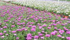 Dimorphoteca (osteospermum) Producción propia de plantas de flor de Vivercid. (Valencia)