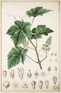 Vitis vinifera- We would have to print ourselves, but very large so we could make it  pretty big