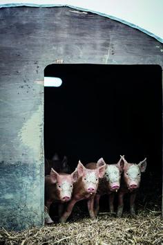 Paddock Farm Tamworth Piglets | Soho House Inspiration