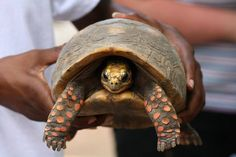 Family cleans house, finds pet tortoise missing since 1982 : TreeHugger