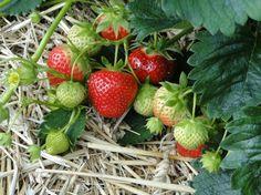 Bálint György kertről, növényekről | Hány évig terem a szamóca-ágyás?