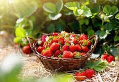 Strawberry field on fruit farm. Fresh ripe organic strawberry in white basket next to strawberries bed on pick your own berry plantation. Strawberry Bush, Strawberry Balsamic, Strawberry Plants, Types Of Strawberries, Everbearing Strawberries, Strawberry Pictures, Cake Aux Olives, All Fruits, Citrus Fruits