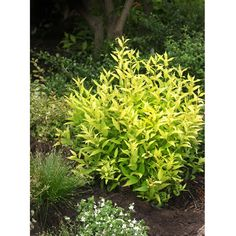 Chardonnay Pearls Deutzia  You'll love Chardonnay Pearls deutzia's bright golden color and its small size, so you can mix it in with your favorite annuals and perennials, or grow it in it containers. It offers white flowers in spring, but the foliage puts on the real sho