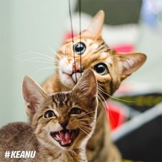 From @iamthegreatwent: Haroun loves playing with string YO IMMA LET YOU FINISH BUT KEANU IS THE CUTEST KITTEN OF ALL TIME.  Keanu interrupts this post to tell you all to check out @keanumovie - in theaters April 29! #catsofinstagram #keanu #sponsored [source: http://ift.tt/1VJ9XAp ]