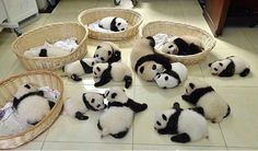 "11.4K 次赞、 150 条评论 - Panda Vibes (@panda_vibes) 在 Instagram 发布:""Panda reunion """