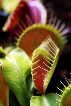Carnivorous plant: venus fly trap like bog-like conditions
