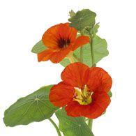 With the nasturtium, you get a flower that indicates that there will be victory through a battle and conquest.