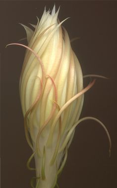 Night Blooming Cereus bud. I love this ugly plant with the most amazing flowers!