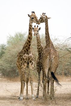 """""""Giraffes 01"""" ~ Photography by servale"""