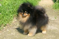 My favorite .... Black and Tan Pom's :)