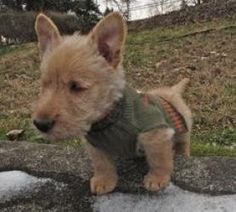 O'Henry is an adopted Scottish Terrier Scottie Dog in Watertown, CT. � Name:� O'Henry ... ...