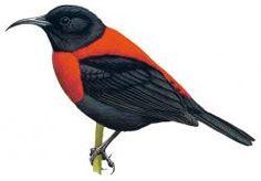 Red-collared Myzomela (Myzomela rosenbergii)