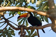 Ein prächtiger Tukan sucht Schatten im sonnenverwöhnten Brasilien!