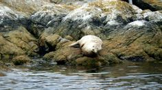 Harbour Seal at Seal Island