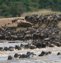 Strong currents add more danger to the river crossings, particularly when a large group crosses at once. The Great Migration, Zebras, Giraffes, Game Reserve, African Safari, Africa Travel, Continents, Where To Go, Wildlife