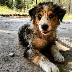 The muddiest dog at the dog park! - Ed Austin Dog Park - Jacksonville, FL - Angus Off-Leash #dogs #puppies #cutedogs #dogparks #jacksonville #florida #angusoffleash