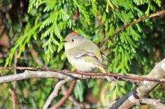 digitalmarbles posted a photo:  A Ruby-crowned Kinglet dropped by for a visit at Robson Park Surrey BC Canada.