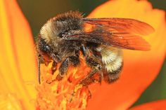 The American Bumblebee Has Vanished From Eight States Environmental News, Eight, Endangered Species, Animal Kingdom, Habitats, Insects, Creatures, American, Beekeeping