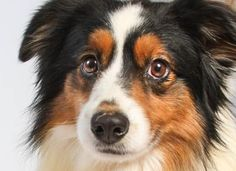 Adopt Huck, a lovely 6 years  5 months Dog available for adoption at Petango.com.  Huck is a Australian Shepherd, Miniature and is available at the National Mill Dog Rescue in Colorado Springs, Co.  www.milldogrescue.org #adoptdontshop  #puppymilldog   #rescue  #adoptyourfriendtoday