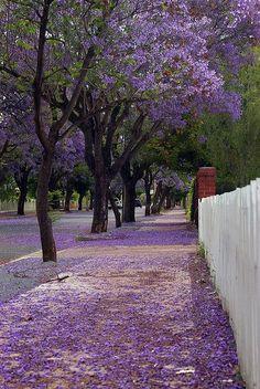 nice Jacaranda avenue in Adelaide Australia... Check more at http://www.discounthotel-worldwide.com/travel/jacaranda-avenue-in-adelaide-australia/