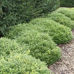 Buxus microphylla 'Rococo', groeit laag en breed, ideaal voor wolk toepassingen