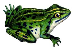 Vintage Frog Image Green Graphic