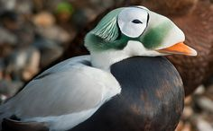 The Spectacled Eider(Somateria fischeri) is a large sea duck that breeds on the coasts of Alaska and northeastern Siberia. At sea, eiders forage on clams, polychaete worms, and other organisms on the sea floor. In winter, the world population of Spectacled Eiders group at a single site south of St. Lawrence Island, Alaska, in the northern Bering Sea. In the summer, the species is divided into three breeding populations; western and northern Alaska and northern Russia.