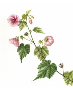Výsledok vyhľadávania obrázkov pre dopyt abutilon botanical illustration