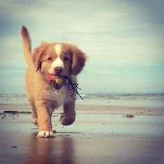 Instagram by pocketvet | Nova Scotia Duck Tolling Retriever Instagram | Puppy Tales Instagram Dogs #puppytales #puppy