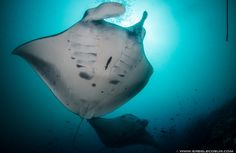 mantas gliding above...  MANTA ALLEY, SOUTH KOMODO