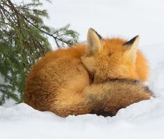 Red Fox at Rest by © Daniel Cadieux