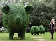 Steve Manning's giant topiary pigs.