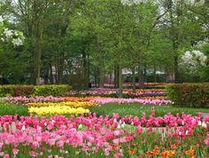 Pink and yellow tulips, Keukenhof Gardens, Holland