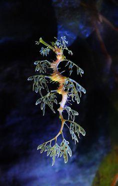 Leafy Sea Dragon (Seahorse) my fave of all sea creatures! Vida Animal, Mundo Animal, Underwater Creatures, Underwater Life, Beautiful Sea Creatures, Animals Beautiful, Cool Sea Creatures, Magical Creatures, Leafy Sea Dragon