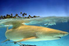 Lemon shark in a lagoon near Bora Bora.