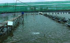 Bahình thức ương dưỡng tôm giống hiệu quả | Mạng Thủy sản Việt Nam