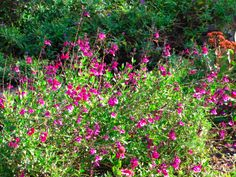 """Salvia greggii  (common names """"Autumn.."""" and """"Cherry.."""" sage) - 18""""-4' (depending on cultivar) x 12""""x2', LS-PS, avg moisture, well drained soil, long bloom fom  spring-to-frost, green leaves, flowers in pink, purple, white depending on cultivar."""
