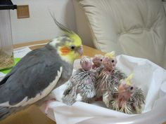 Cockatiel family - note little crests on the chicks.