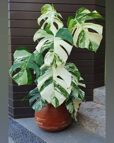 House Plants Decor, Plant Decor, Planting Succulents, Planting Flowers, Plants Are Friends, Variegated Plants, Rare Plants, Cool Plants, Tropical Plants