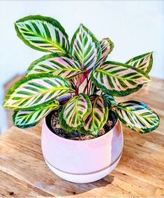 Calathea roseopicta - Garden Care, Garden Design and Gardening Supplies Indoor Garden, Garden Plants, Indoor Plants, Balcony Garden, Hanging Plants, Calathea Roseopicta, Decoration Plante, Foliage Plants, Cactus Y Suculentas