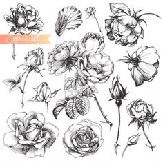 Flower set: highly detailed hand drawn roses.  Stock Photo - 12132203
