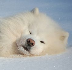 Snow is the best place in the world #Samoyed