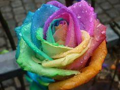 regenboog roos