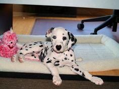 I can't wait til I get my own Dalmatian!