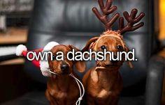 Own A Dachshund. #Bucket List # Before Die # weenie dog #Dachshund