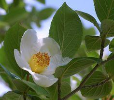 camellia white shadow