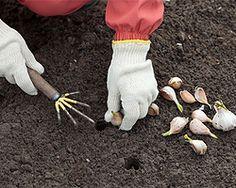 Gartentipps im März für Knoblauch stecken