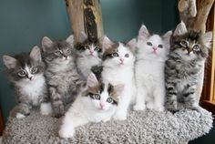 Kitten Album Litter I Siberian Kittens, Cats And Kittens, Album, Cute, Animals, Adorable Kittens, Gatos, Animales, Animaux