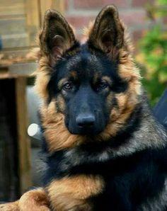 A beautiful face♡ @KaufmannsPuppy