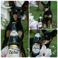 Zipfer my bier dog